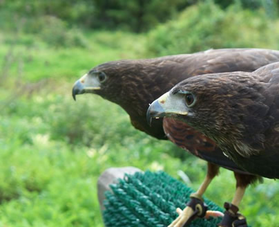 Harris' hawks ready for action.